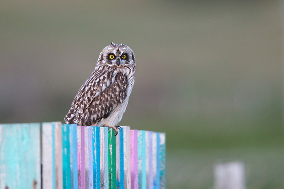Wild Short Eared Owl