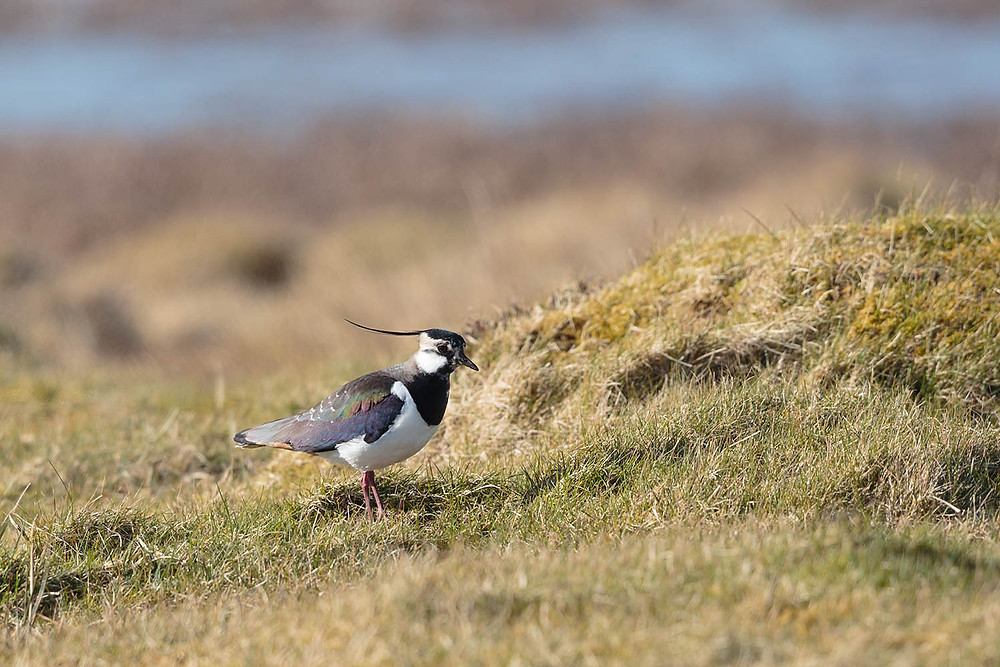 Lapwing in breeding plumage on the machair