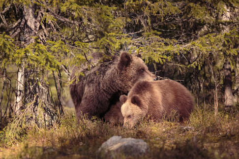 A wild Brown bear cub with it's mother in the forest