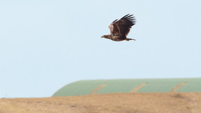 The best place to watch Golden Eagles in Scotland?