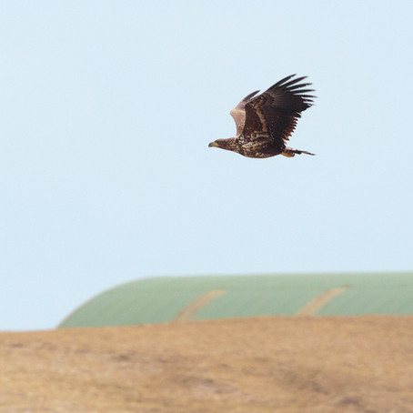Golden Eagle watching