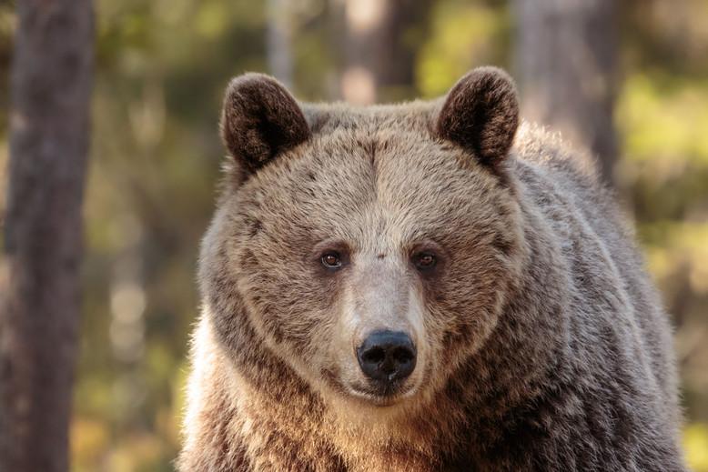 Wild bear (Ursus arctos arctos)