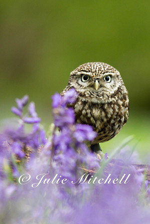 Little owl in the blue (Athene noctua)