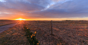 Sunrise with the daffodils