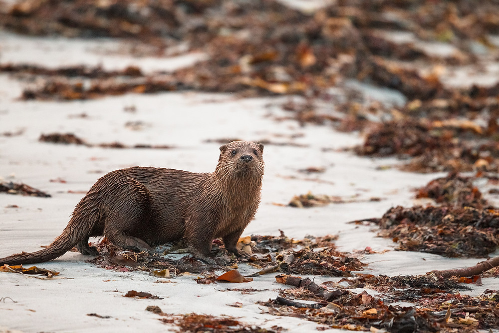 Otter (Lutra lutra) on the beach at RSPB Balranald