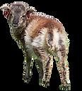 Soay Lamb, St Kilda.png