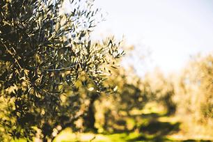 oliveto2.png