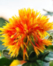Safflower_edited.jpg
