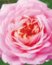 Rose Otto_edited.jpg