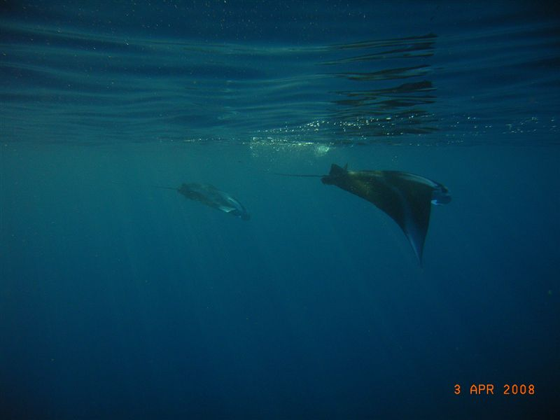 two_mantas_at_gun_beach