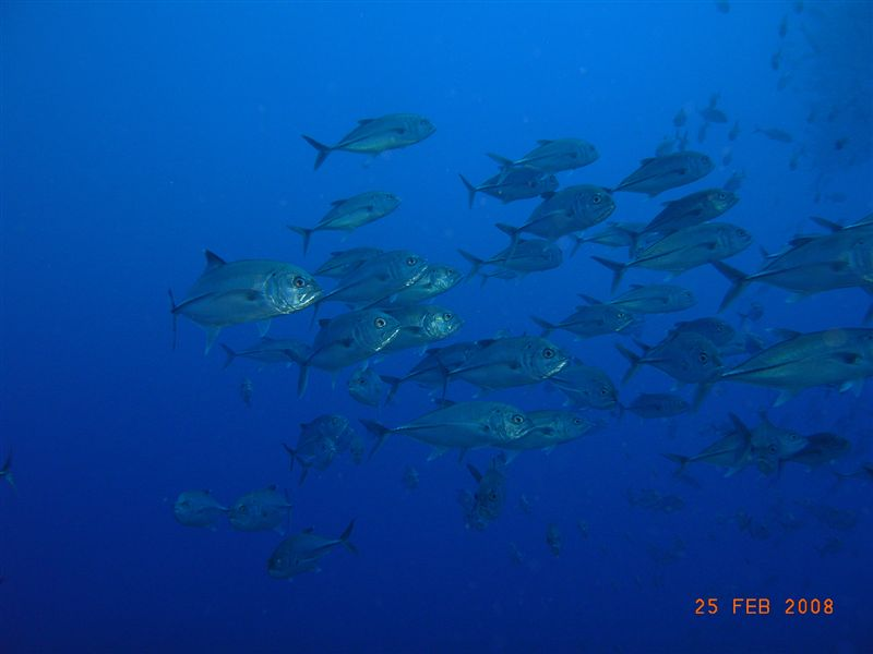 school_of_trevally