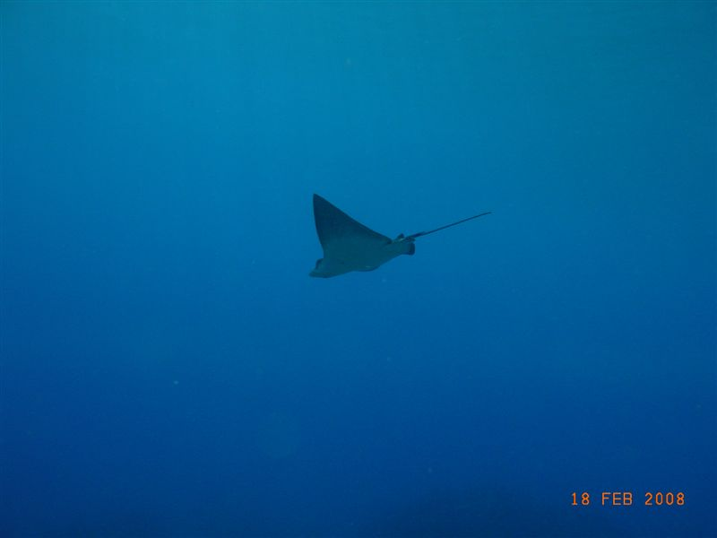 eagle_ray_wake