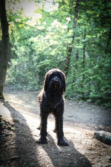 Buster Portugiesischer Wasserhund Unisee Bremen