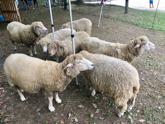 羊に会いに。
