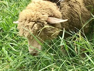 羊の除草実験@舞鶴公園