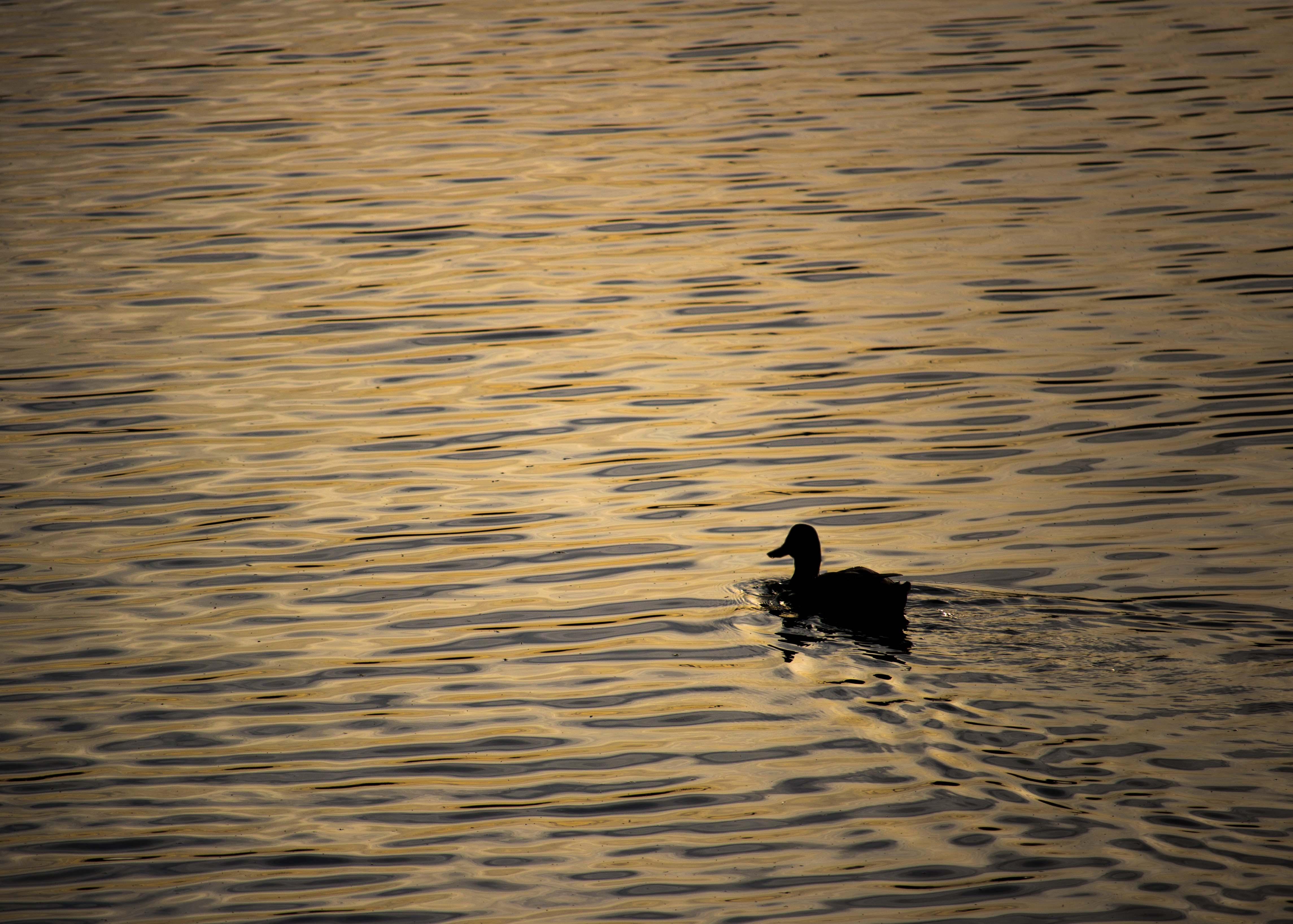 Duck (1 of 1)-2