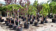 9 Easy Steps For Planting Container Trees and Shrubs