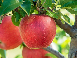 Excellent Fruit Tree Options for Northern Iowa