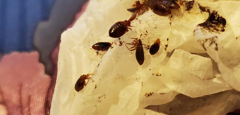 bedbugs2.jpg