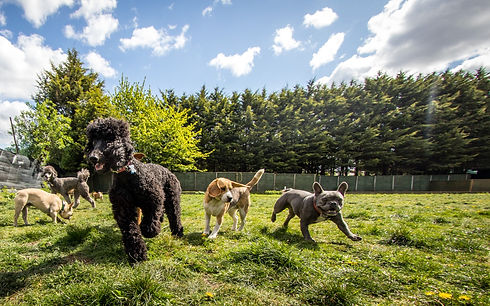 A group of dogs playing together at dog daycare on a sunny day: french bulldog, beagle, poodle