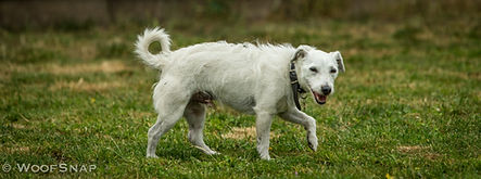 Happy white parsons terrier dog walking at dog daycare on the grass with a curled tail