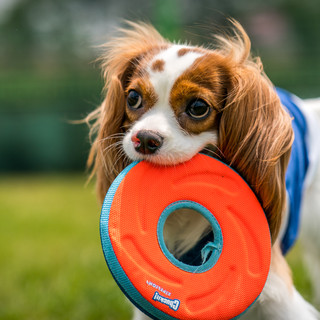 King Charles Spaniel photoshoot