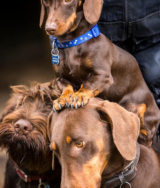 Chocolate dogs