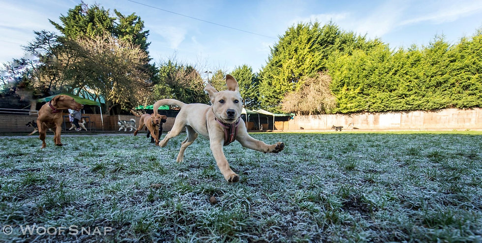 A labrador puppy playing at dog daycare in West London. Behind her other dogs are happily running, viszla, alaskan malamute, german shepherd