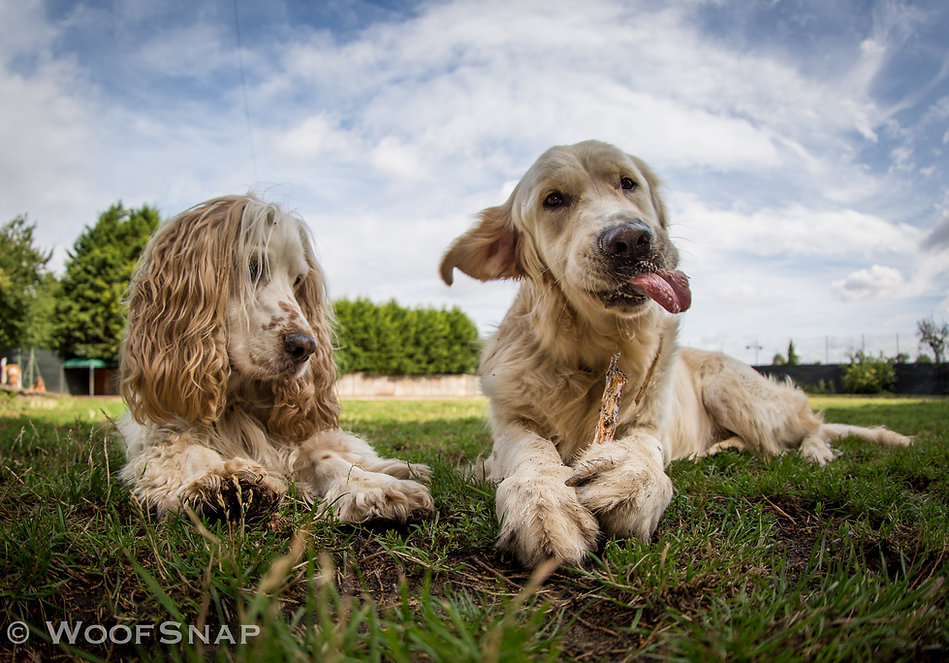 Two dogs playing together at dog daycare in London, a cocker spaniel and a golder retriever who is playing and biting a stick with his tongue out, lying on the grass