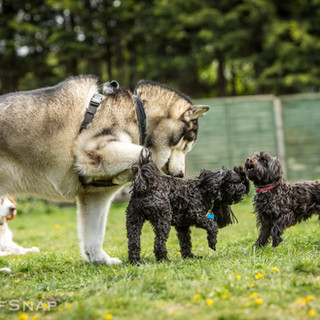 Tzar inviting smaller pups to play
