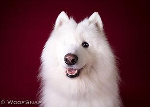 Happy smiling Samoyed dog with one eye Mika posing during a professional photoshoot.