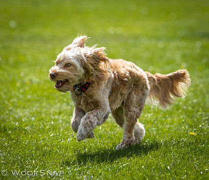 A happy cockapoo running in the grass, hair blowing in the wind, at dog daycare