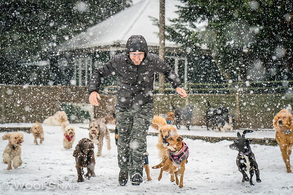 happy man running with lots of dogs on a snowy day at dog daycare: cocker spaniels, cockapoos, labrador retriever, labrador, labradoodle