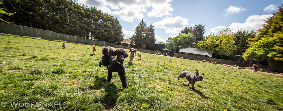 Daycare facilities at LondonWoof, lots of dogs running happily outdoors, playing and socialising: black poodle, french bulldog, beagle, viszla, cockapoo