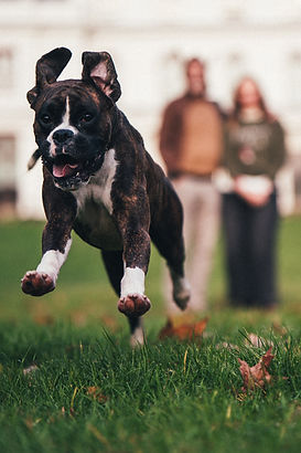 Happy boxer dog running through a field with her owners in the background in the park during a professional photoshoot