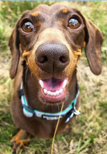 A smiling brown female miniature dachshund on the grass at doggy daycare in London