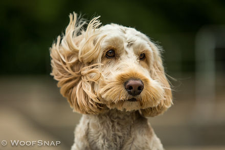 A majestic blonde cockerpoo on a dog photoshoot with wind in his ears at dog daycare