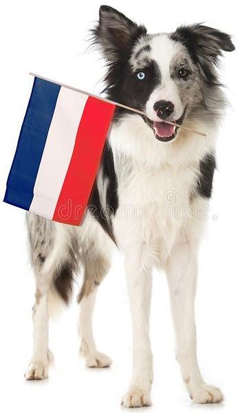chien-de-border-collie-avec-le-drapeau-fran%C3%A7ais-131788447_edited.jpg