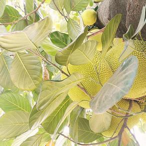 The Joys of Jackfruit