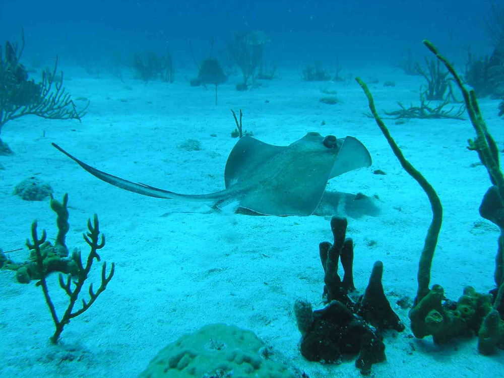 Stingray in the Chicuzan