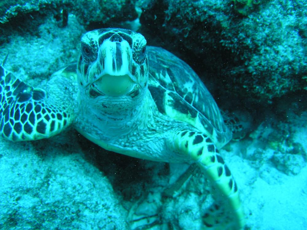 Hawksbill Turtle in Tortola