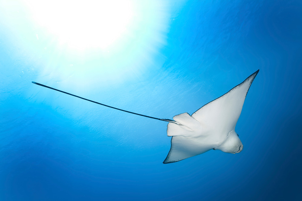 Mantaray in St Barths
