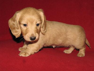 Cream Color Pup