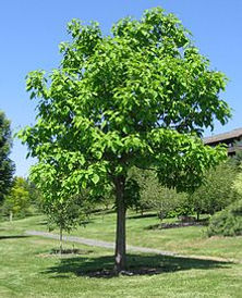 Northern Catalpa