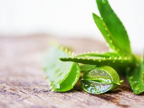 10 benefici dell'Aloe Vera