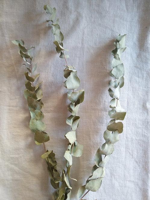 Varas de eucalyptus x 3 unidades