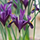Thumbnail: Iris - Single pot