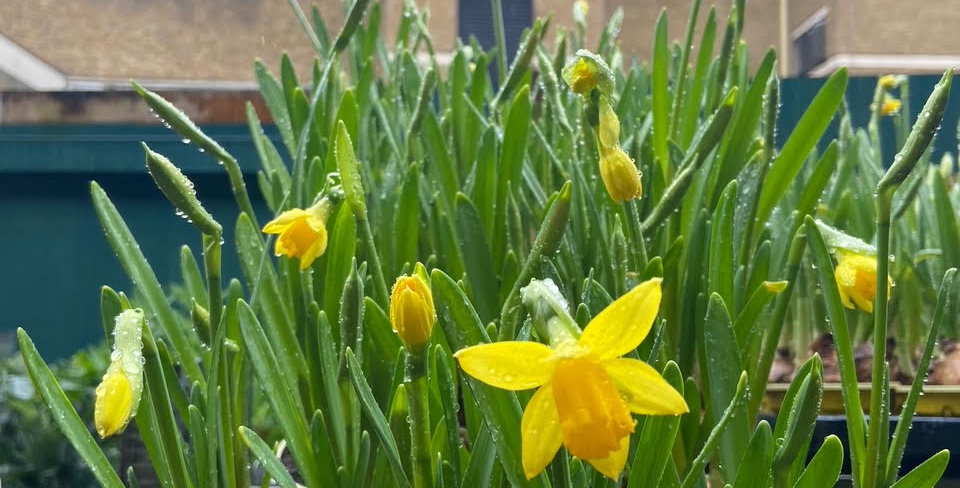 Narcissus - Single pot with several bulbs