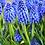 Thumbnail: Blue Muscari - Single pot with several bulbs
