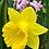 Thumbnail: Narcissus - Single pot with several bulbs